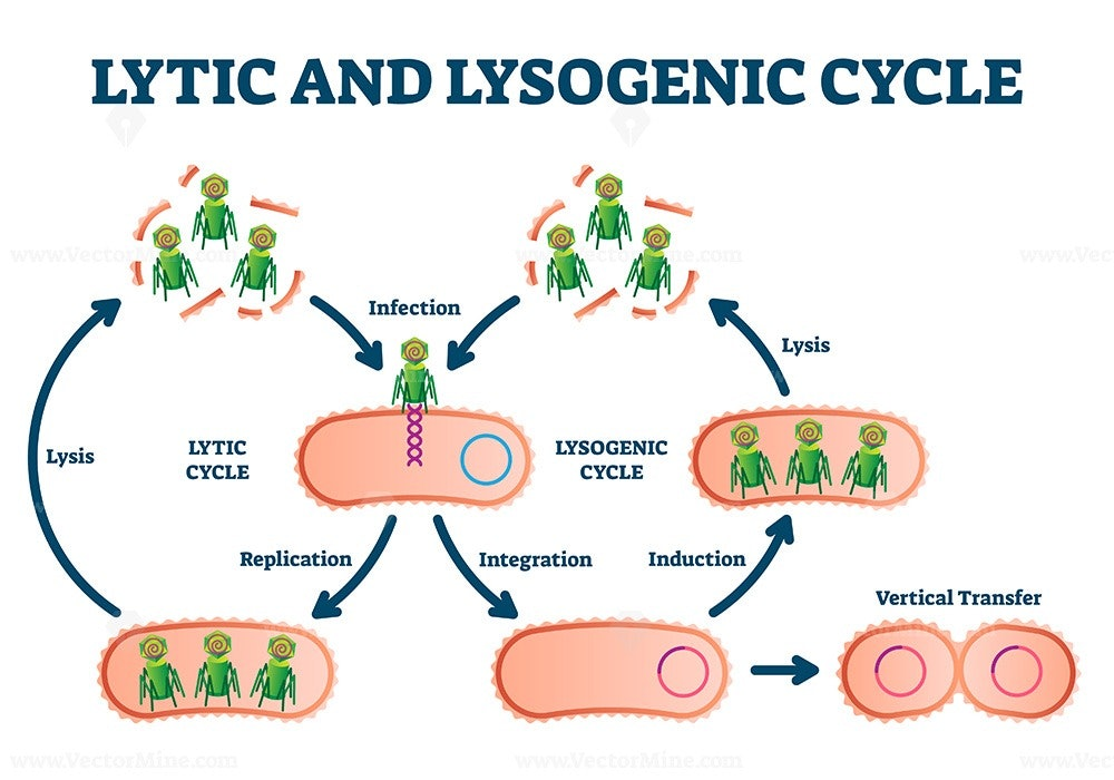 Lytic and lysogenic cycle vector illustration - VectorMine