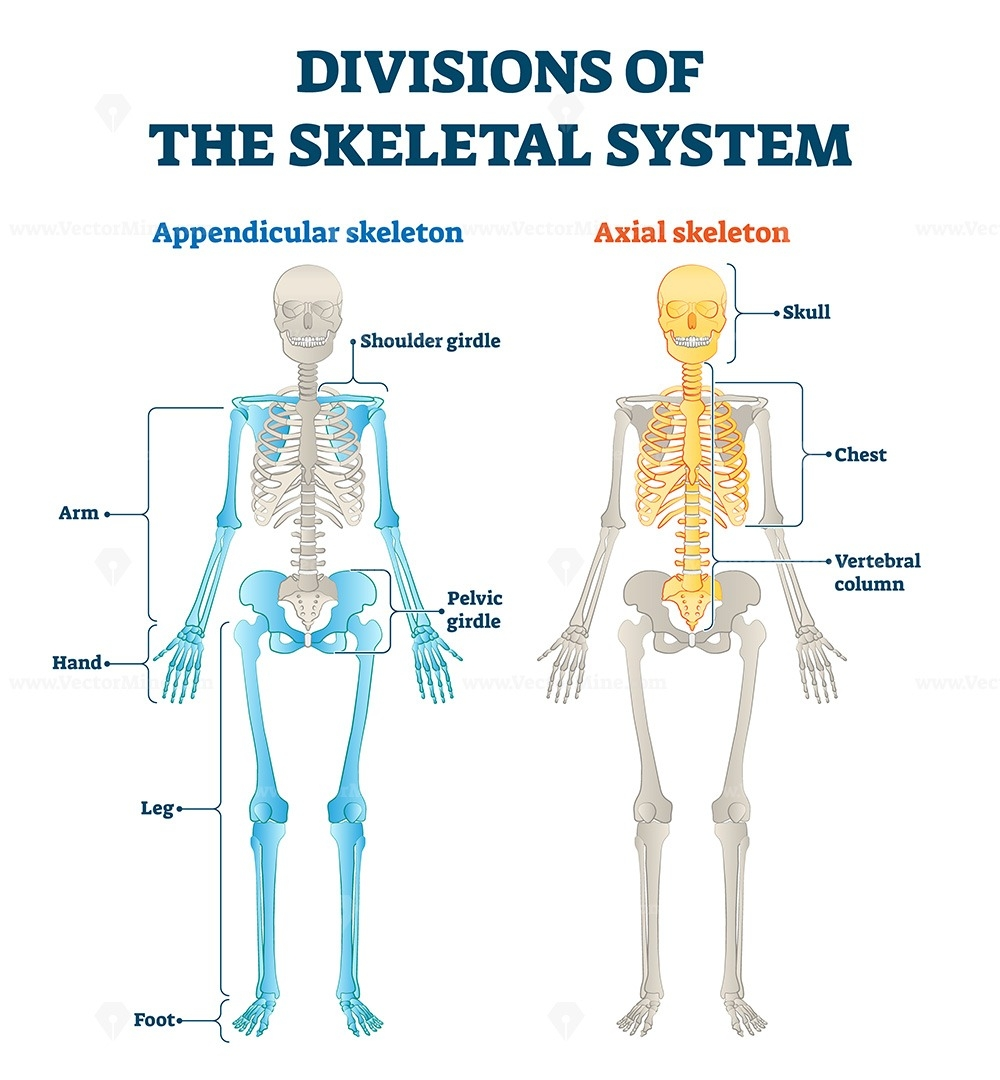 Divisions Of Appendicular And Axial Skeletal System Labeled Explanation