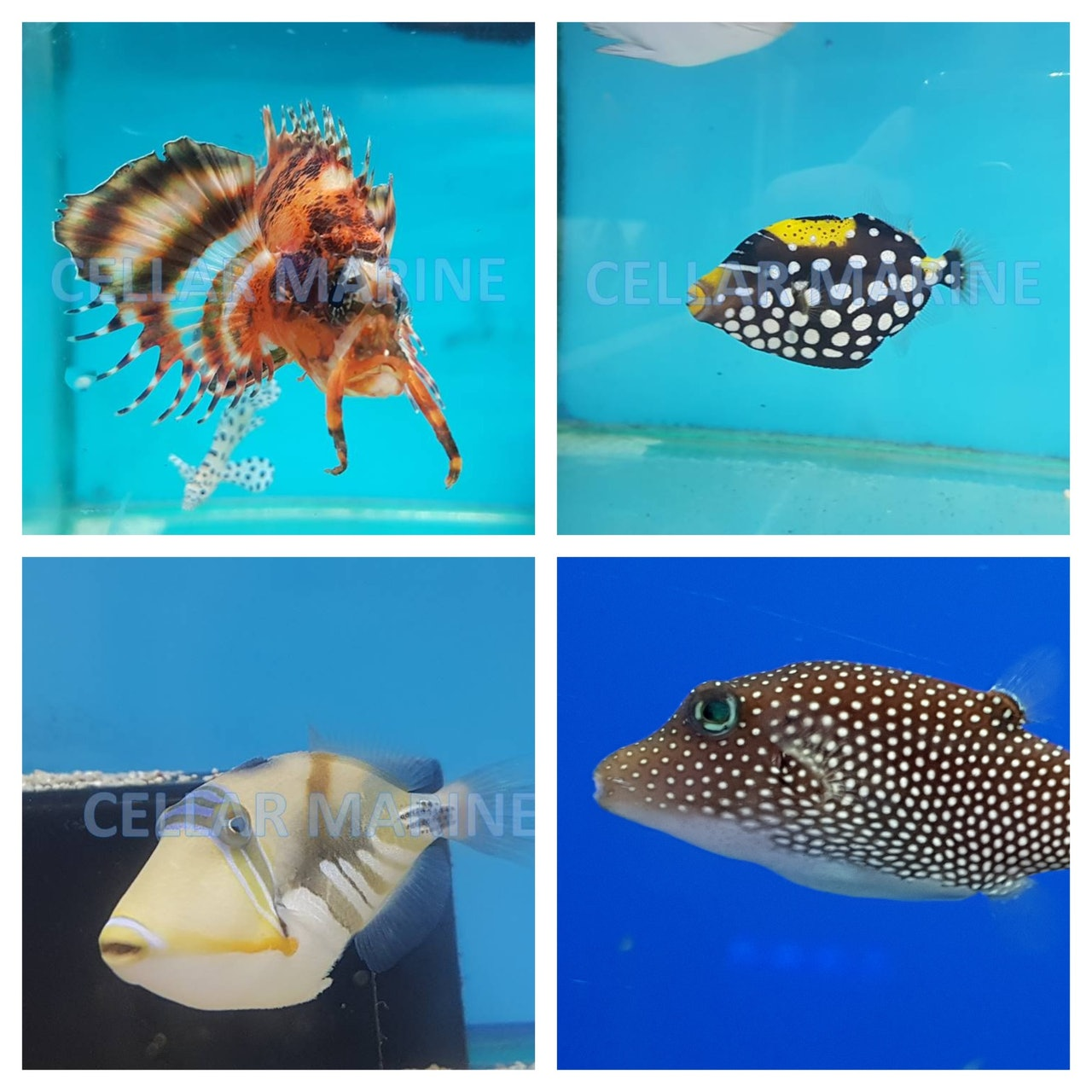Triggers Puffers Lionfish