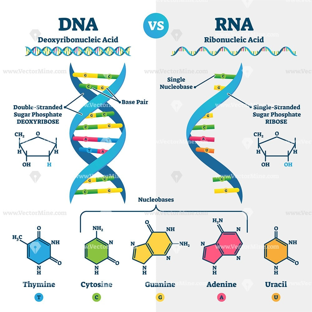 what is rna and dna