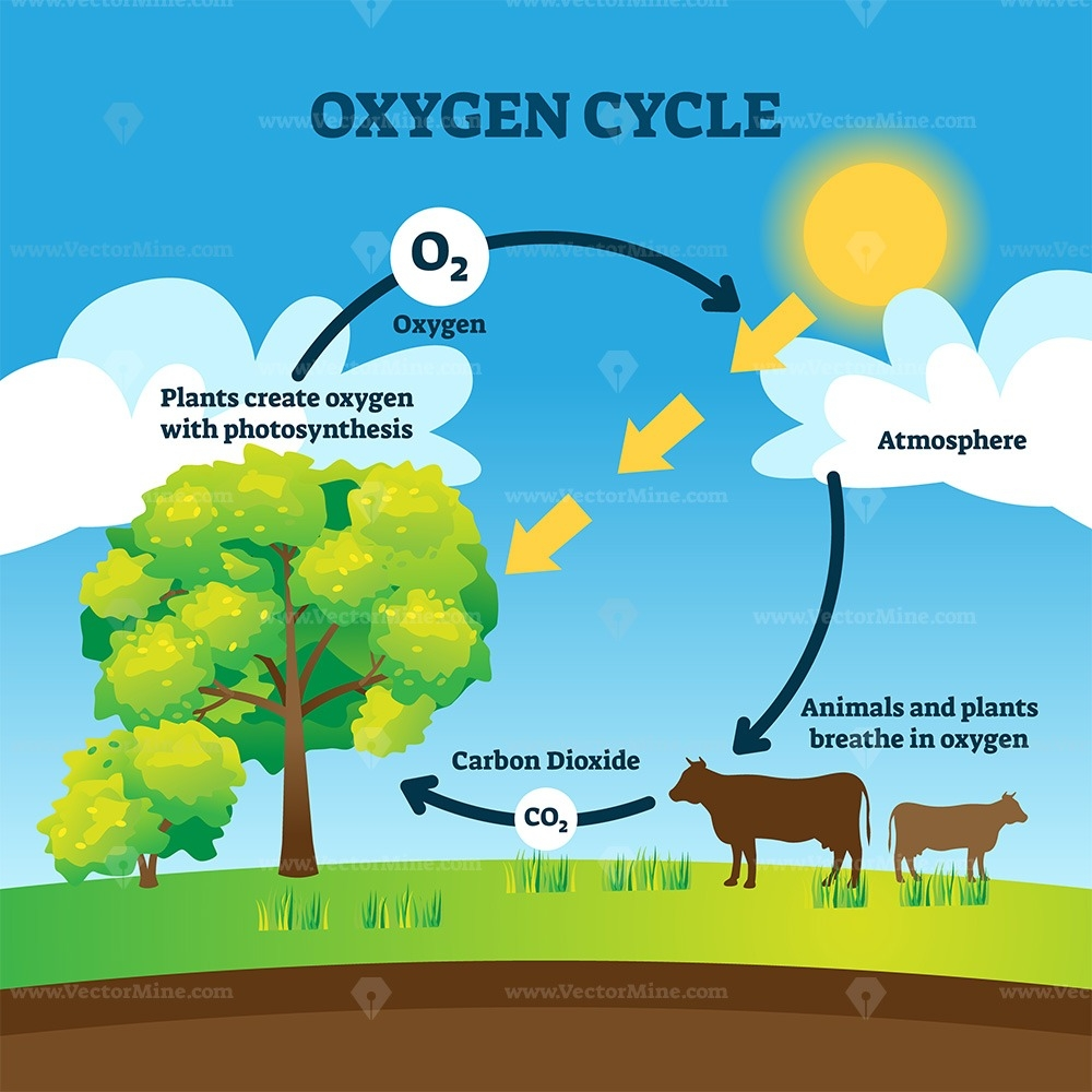 Oxygen Cycle Vector Illustration