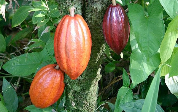 Cacao seed pods