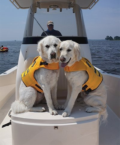 Golden Retrievers swimmers with lifejackets